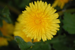 1384667 81047368 300x198 Let wilted dandelions keep me from a wilted heart